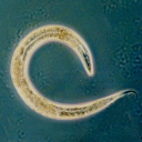 Search Caenorhabditis elegans