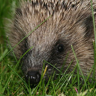 Search Hedgehog