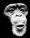 Chimp Pre!